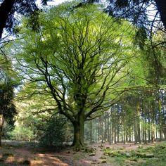 Le hêtre de Ponthus, forêt de Brocéliande (Ille-et-Vilaine)   Krapo arboricole