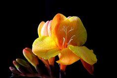 Freesia, Flower, Blossom, Bloom