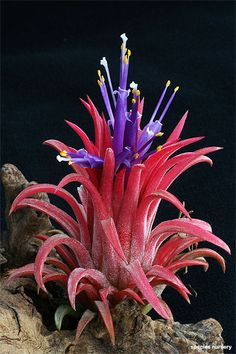 Tillandsia ionantha's purple flowers