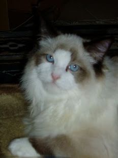 Ragdoll cat- Eee! They are so pretty!