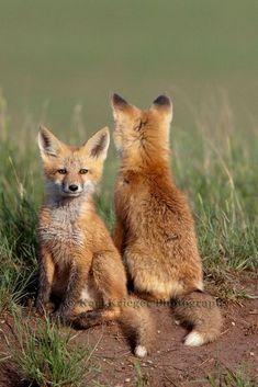 Red Fox Cubs by Karl Krieger
