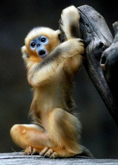 Golden snub nosed monkey by floridapfe, via Flickr