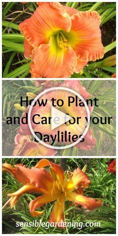 Daylily Garden, Tulips Garden, Garden Plants, Planting Flowers, Flower Gardening, Day Lilies Care, Organic Gardening, Gardening Tips, Gardening Vegetables