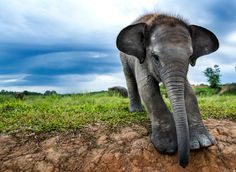A young Sumatran elephant in Way Kambas national park, Sumatra. The Sumatran elephant is one of three subspecies of Asian elephant and is critically endangered. Endangered Elephants, Endangered Species, Asian Elephant, Baby Elephant, Elephant Habitat, Wildlife Conservation Society, Baby Animals, Cute Animals, Elephant Pictures