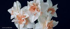 Daffodil Bulbs Delnashaugh