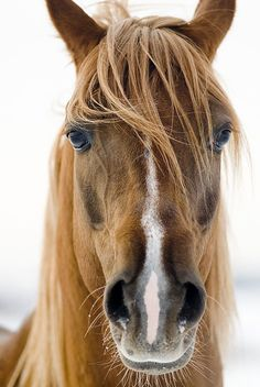 When the horse has a better hair day than you do. The Horse, Horse Art, Horse Love, Majestic Horse, All About Horses, Appaloosa, Ponys, Beautiful Horse Pictures, Beautiful Horses