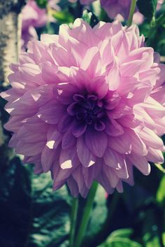 Lilac Dahlia | Flickr - Photo Sharing!