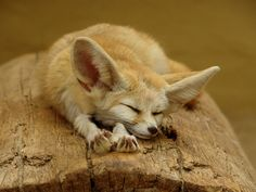 Fennec Fox.  Native to Northern Africa and the Sahara Desert.  With his large ears he ca hear prey moving under the sand. Photo credit:  animal galleries.org