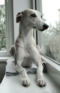 Lovely image for a Greyhound, or possibly a Whippet lovingly waiting for their owner to come home Perro Whippet, Whippet Puppies, Dogs And Puppies, Whippets, Greyhound Dog Breed, Doggies, Beautiful Dogs, Animals Beautiful, Pets