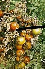 Gazlap - Veszélyes a paradicsomra! Pest Control, Pumpkin, Outdoor, Gardening, Flowers, Outdoors, Pumpkins, Lawn And Garden, Outdoor Games