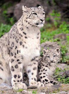 Leopardo de las nieves (en vía de extinción)