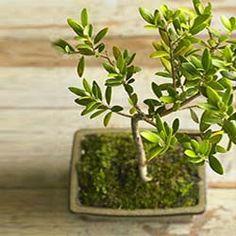 Olive Bonsai, Viva Terra