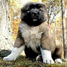I saw one huge CMD fend off a pack of wolves from attacking his herd. These dogs are truly valiant! Caucasian Dog, Caucasian Shepherd Dog, Russian Caucasian, Big Dogs, Large Dogs, Dogs And Puppies, Massive Dogs, Doggies, Russian Bear Dog