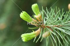 Pine Tree Buds - Buds on a pine tree coming to life in the sprintime.