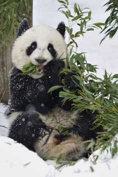 Panda eating in the snow.