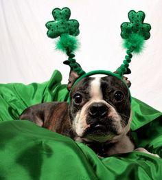 Bello! Las mascotas tambien se visten para celebrar a San Patricio.