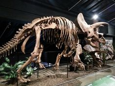 Triceratops, Houston Museum of Natural Science | Flickr - Photo Sharing!