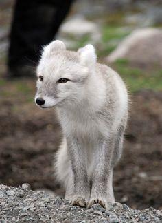 Arctic Fox Stock 13 by Greyeyesstock on deviantart.com