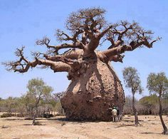 Baobab. Kruger Park