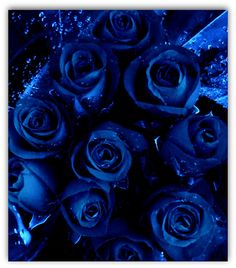blue roses  @suger67