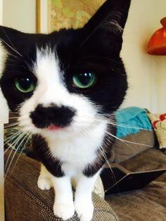 mustache Charlie Chaplin tuxedo cat