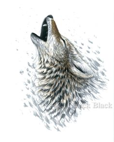 Original Art - #Howling Coyote Drawing - Signed by Wildlife Artist Chuck Black #howl #coyote #art #decor #dogs #canine #dogart