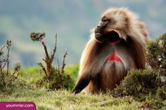 bonobo funny monkey pictures Gorilla 2015 wallpaper http://www.yoummisr.com/bonobo-funny-monkey-pictures-gorilla-2015-wallpaper/
