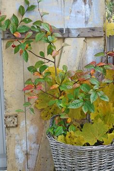 old weathered door .. plant .. basket