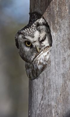 ~~a winking Tengmalm's owl by Jari Peltomaki~~