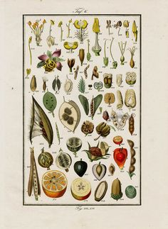 "Antique prints of ""Seeds"" from Eduard Winkler Medicinal Prints 1832"
