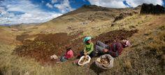 JIM RICHARDSON  Finding the Faces of Farming: A Peruvian Potato Harvest