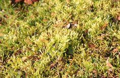 Fast das ganze Jahr über wird der Rasen mit Füßen getreten – keiner wird es ihm daher verdenken, dass er auch einmal gepflegt werden möchte.