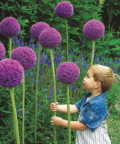 Giant Flowering Allium - Set of 10 - I have always wanted to try to grow these.