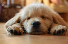 golden retriever puppies are the best