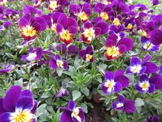 A mass of blooming Johnny Jump Up