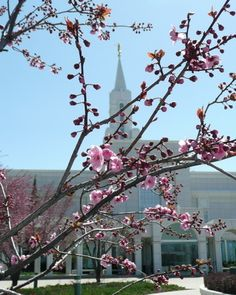 Bountiful UT Temple with pink blossoms in spring.
