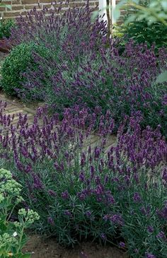 Hidcote Blue English Lavender: Lavandula angustifolia 'Hidcote Blue'. Moderate grower to 2' to 3' tall and wide. Full sun. Water needs: Low Once established, needs only occasional watering. Highly effective in mass plantings.