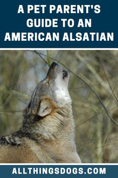The American Alsatian was bred to be calm and mild mannered and is great for an experienced family who understands his needs. Read our pet parent's guide to learn everything you need to know before you look for an American Alsatian for sale.