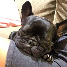 Frenchie dreams....
