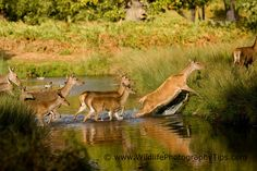 Dramatic Deer Photography - Wildlife Photography Tips Wildlife Photography Tips, Deer Photography, Deer Crossing, Fallow Deer, Animals, Animales, Animaux, Animal, Animais