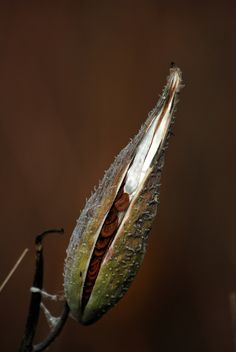 Milkweed Seed Pod by bernardwilliamson -  Bernard Williamson