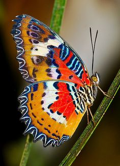 Multicoloured Malay Lacewing Butterfly