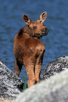 Baby Moose with a Sweety-Face Smile