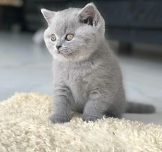 Kittens For Sale London, Kitten For Sale, Cats For Sale, British Shorthair Breeders, British Shorthair Kittens, British Blue Cat, Sale Uk, Blue Cats, Dream Life