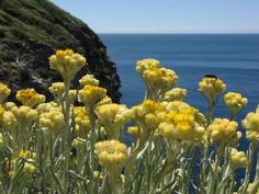 Immortelle des Stoechades © M.Gasquy/Parc national de Port-Cros