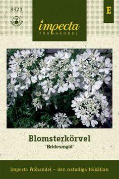 Orlaya grandiflora  Blomsterkörvel 'Bridesmaid', hardy, 70 cm