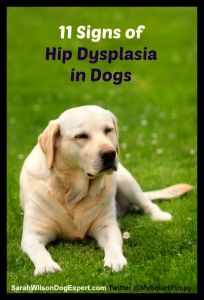 Hip dysplasia in dogs has many symptoms. Each dog is different as their pain is different and how they bear that pain varies as well. I've seen dogs with horrible X-rays who run and play like orthopedically normal dogs and … Continue reading →