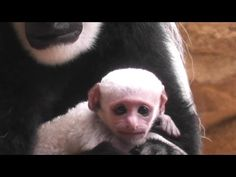 Baby colobus monkey at Saint Louis Zoo