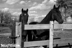 Black & White Sunday - Back In The Saddle - The Lazy Pit Bull http://www.thelazypitbull.com/2014/06/black-white-sunday-2/