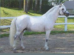 Janus - Connemara stallion